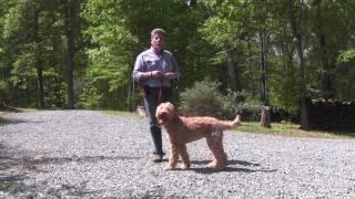 Fitz   Goldendoodle Puppy Training