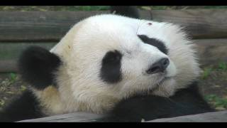 Video : China : Mei Lan : Panda lunch, panda snooze - video