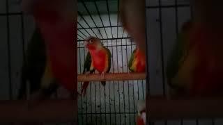 pineapple red factor conure - Kênh video giải trí dành cho