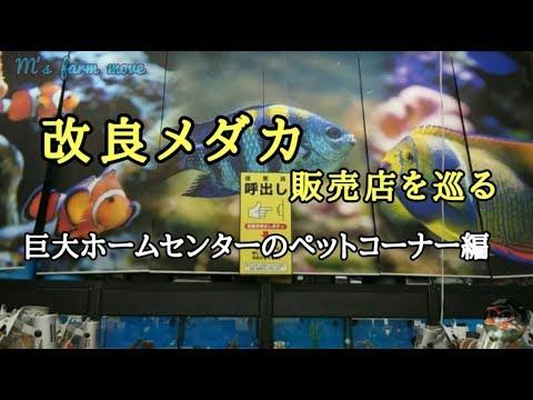 改良メダカ販売店を巡る【ホームセンター編】