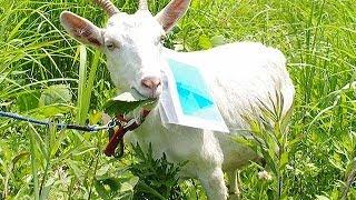 団地の草むしり、ヤギがお助け=住民に好評、癒やし効果も