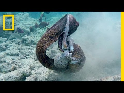 I'm Not Sure Who Won This Octopus Vs Eel Vs Human Fight