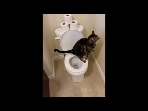 חתול משתמש בשירותים ומוריד את המים ממש כמו בן אדם!