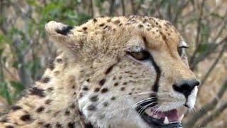 Are cheetahs endangered?