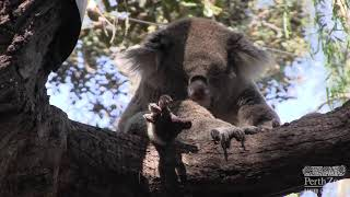 Koala Keeper Talk | Perth Zoo