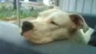 Dogo Argentino doing nothing