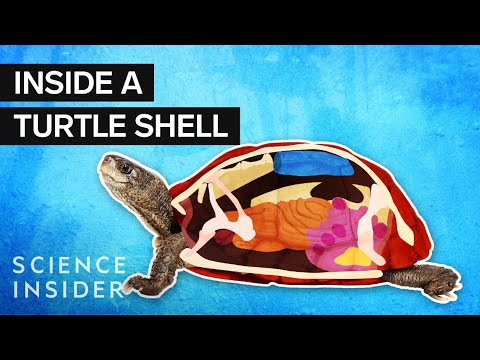 Looking Inside a Turtle Shell