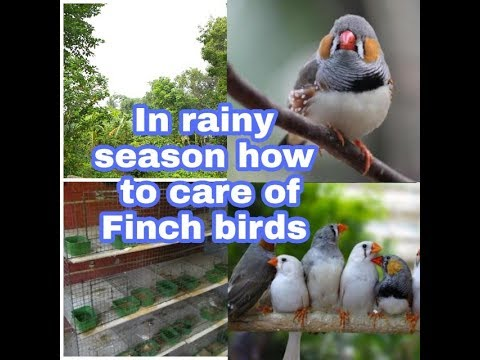 In rainy season how to care of Finch birds