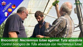 Biological control of Tuta absoluta (Tomato leaf miner) with Necremnus tutae in greenhouses