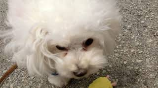 犬の幼稚園 バニラちゃんとトレーニング   Kholo.pk