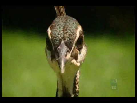 طيور الزينة _ الطاووس