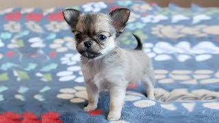 Cute Tiny Chihuahua Puppies Video Compilation