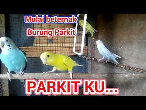 Video Belajar ternak parkit!! Parakeet (budgie) farm