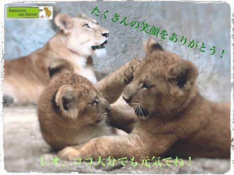 ライオンの親子が与えてくれた笑顔!~レオ、ココ大分でも元気でね~