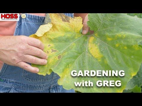, title : 'Don't Let This Happen to Your Squash & Pumpkin Plants!