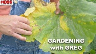 Don't Let This Happen to Your Squash & Pumpkin Plants!