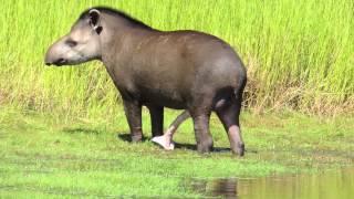 Male Tapir