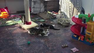 Kittens starting on solid food