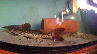 "Rex (RTC x TSC hybrid ~22"") and silver arowana (new tank mate) afer 2 day's"