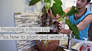 Turn One Peace Lily Into MANY!