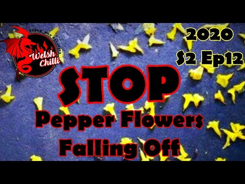 , title : 'HOW TO STOP PEPPER FLOWERS FALLING OFF and pepper bloom dropping