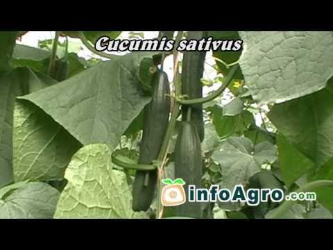 Cucumbers growing. 1/2