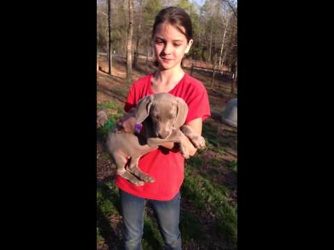 LAYLAS CH.BRED FEMALE PUP