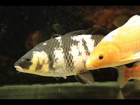 【錦鯉】白写りの飼育開始から一年超が経過