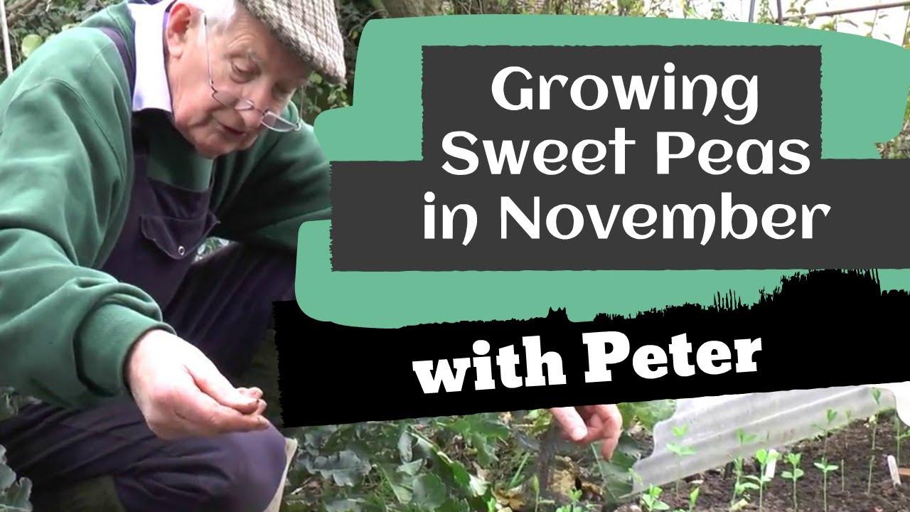 Sweet Peas in November