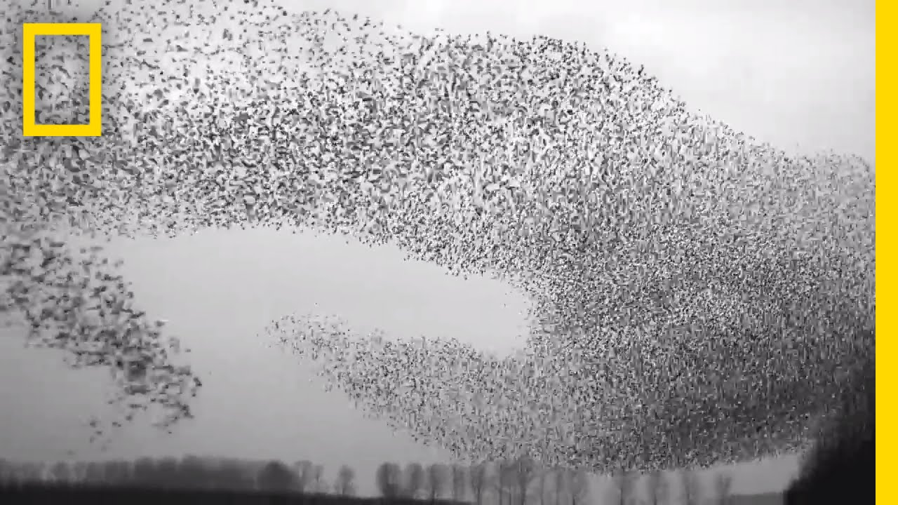 Flight of the Starlings: Watch This Eerie but Beautiful Phenomenon | Short Film Showcase thumbnail