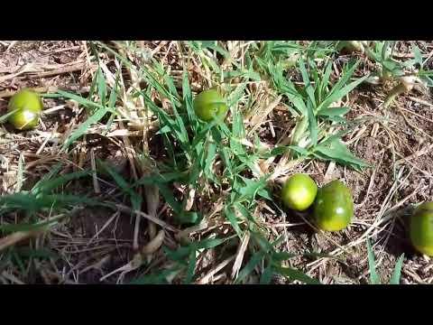 Bruciagrassi semilla de brasile