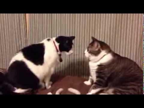 兩貓玩瞪眼遊戲   僵持17秒才動手互毆
