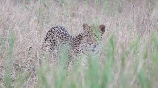 The 3:2 son of the EMSAGWENI female LEOPARD