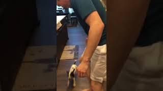 Bichon Bolognese Puppies Videos