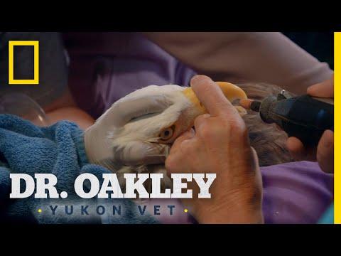 Bald Eagle Manicure | Dr. Oakley, Yukon Vet