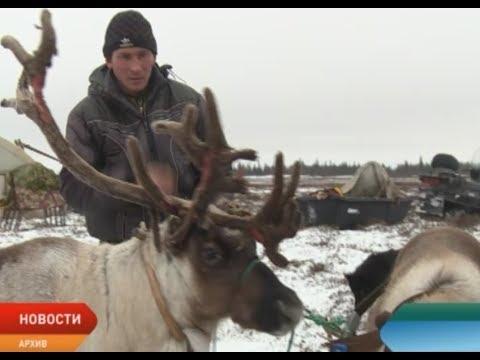 В Ненецком округе увеличили ставку субсидий для оленеводов