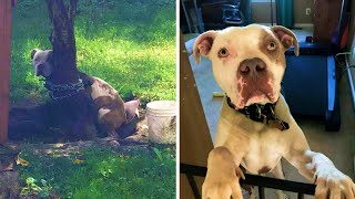 Rescue Pitbull Found With Chain Tied So Tightly Around Neck, He Can't Even Move An Inch