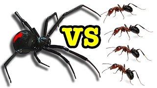 Killer Spider Vs Killer Ants The Ultimate Educational Bug Battle