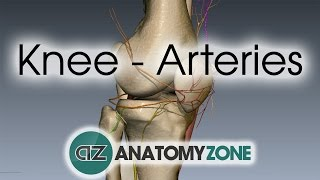 Knee Arteries - 3D Anatomy Tutorial
