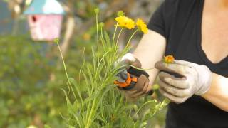 How to Trim Coreopsis : Garden Space