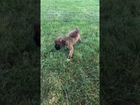 Omelet - Boxer puppy for sale