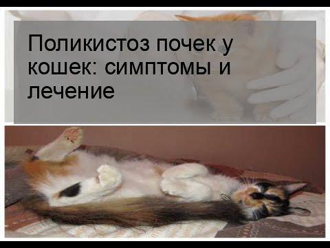 Поликистоз почек у кошек: симптомы и лечение