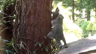 животные, Mother Raccoon teaches kit how to climb a tree