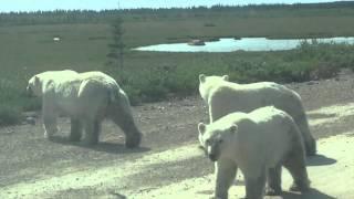 Polar Bears Walking Down The Road near Churchill, Manitoba