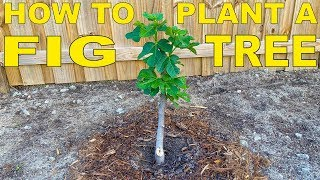 How To Plant A Fig Tree In Ground   Complete Guide