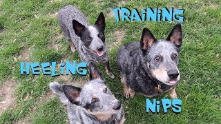 Australian Cattle Dogs - Training Tips - Heeling & Nipping