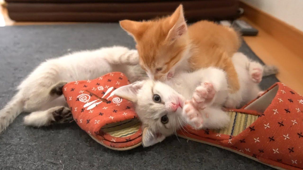 【生後47日】大部屋が嬉しくて大はしゃぎする子猫たち【保護子猫】