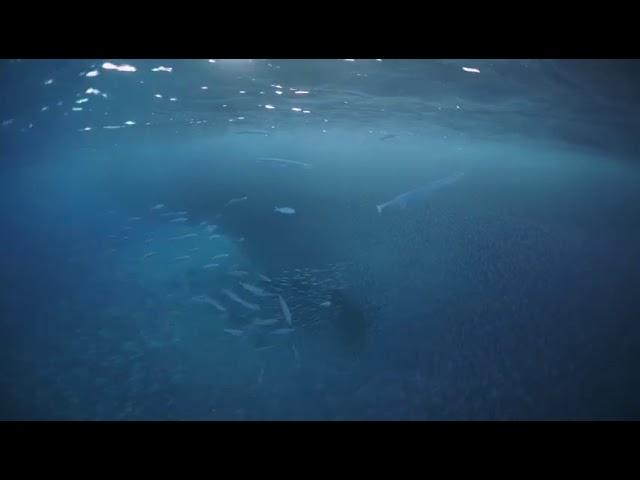 תיעוד נדיר: מצוד תת ימי בעיני העדשה