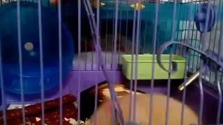 Мой крысеныш Чапи 🐀Как сделать вкусняшки для животных 🐀