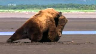 Смотреть онлайн Драка двух медведей